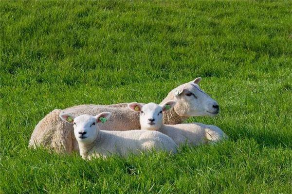 生肖羊本月运势