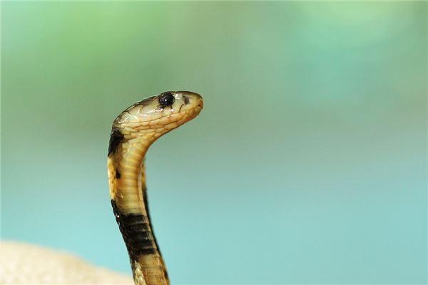 孕妇梦见眼镜蛇
