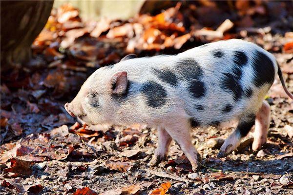1995年属猪人2021年运势及命运 27岁生肖猪在牛年每月运程如何