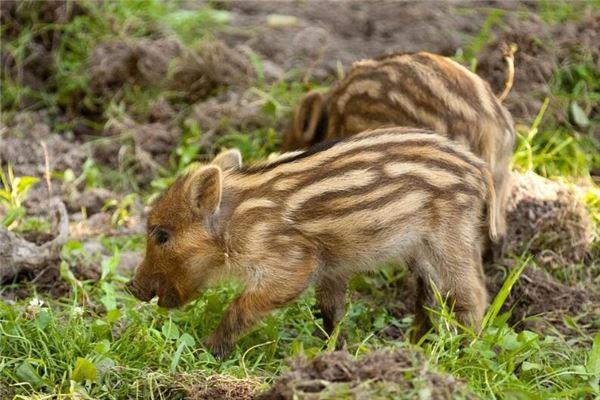 2007年属猪人2021年运势及命运 15岁生肖猪在牛年每月运程如何