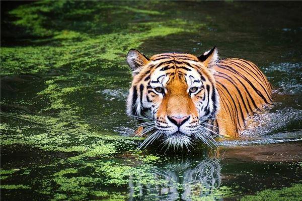 屬虎本命年是哪一年