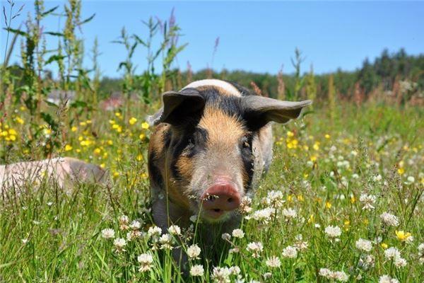 金豬生大錢是真的嗎