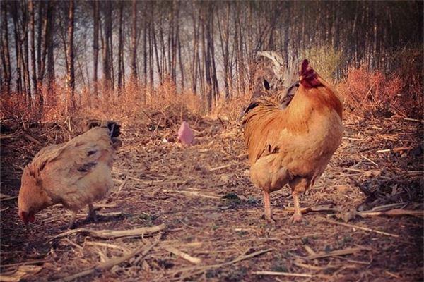 屬雞2017年幾月出生好