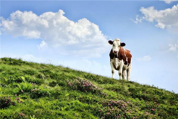 属牛的男人性格和爱情