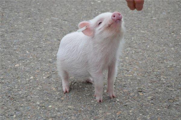 生肖猪是哪年出生的