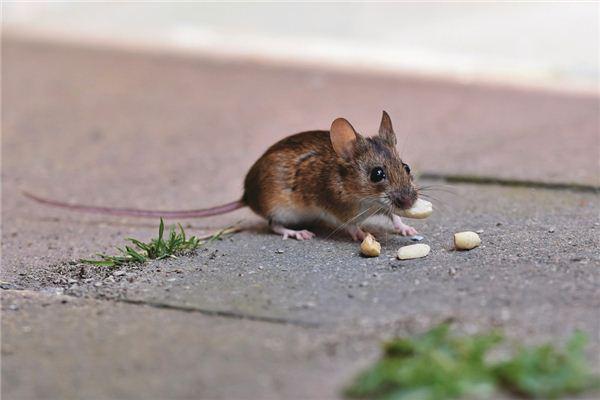 生肖属鼠的女人性格运势