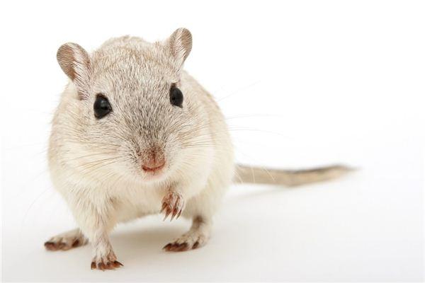 生肖属鼠的人性格运势