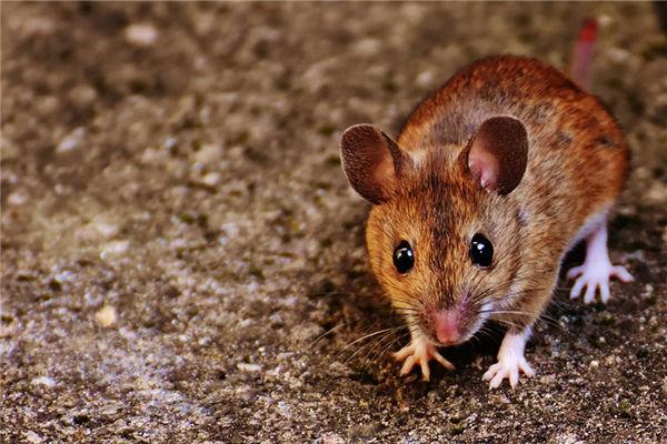 生肖属鼠的人2022年岁数表