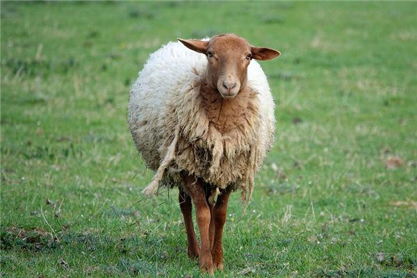 1979年8月生肖羊爱情观